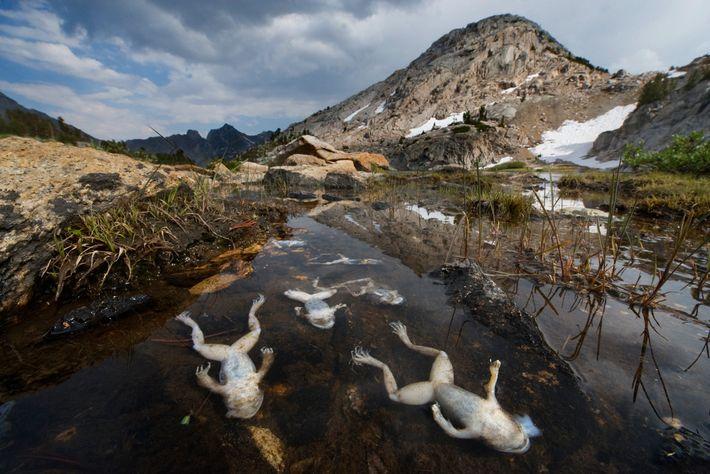 Dans la chaîne de montagnes Sierra Nevada en Californie, les grenouilles périssent, infectées par le champignon ...