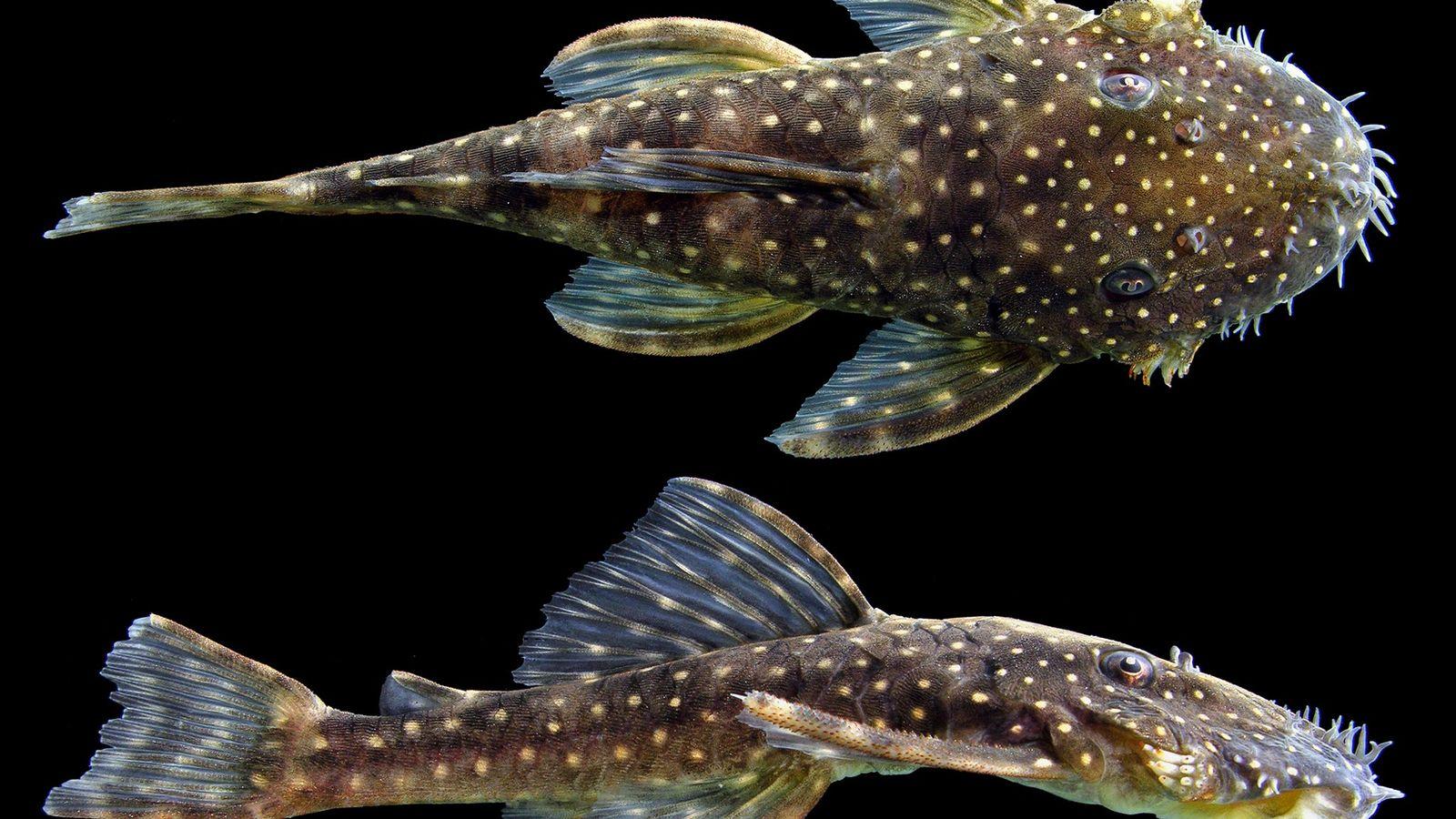 L'Ancistrus leoni est l'une des six nouvelles espèces de poissons-chats ancistrus découvertes par Lesley de Souza ...