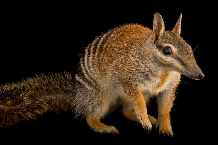 Cousin du tigre de Tasmanie avec des airs d'écureuil, le numbat, ou myrmécobie à bandes, est ...