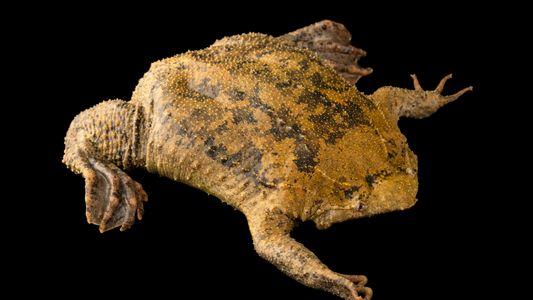 Cet amphibien loge jusqu'à 100 têtards sous les pores de sa peau