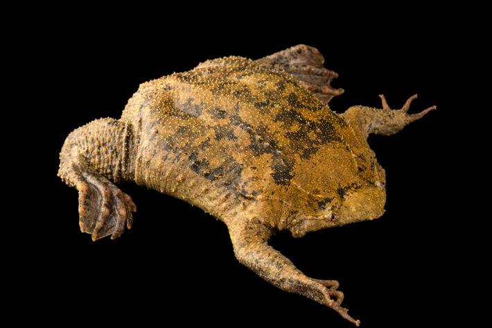 Cet amphibien loge ses petits têtards sous les pores de sa peau