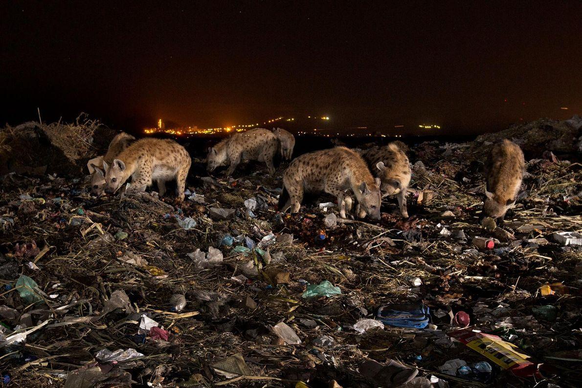 Une meute de hyènes arpente la décharge de la ville de Mekelle en Éthiopie, à la ...