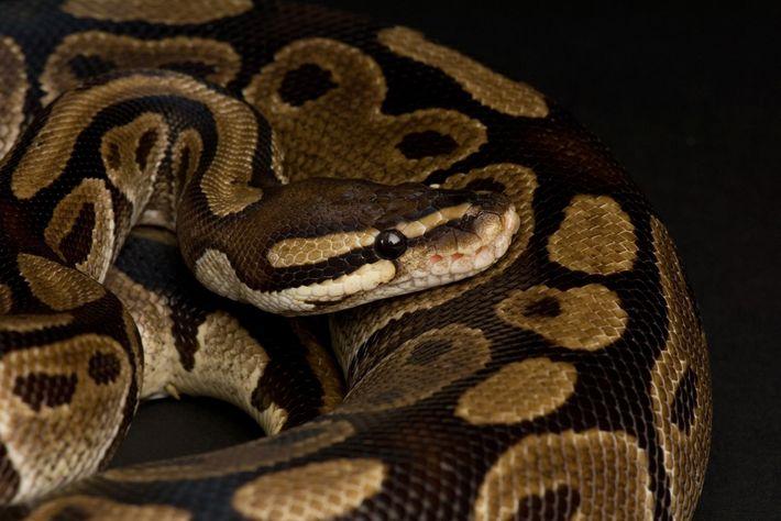 Seuls 8 % des reptiles dans le monde sont inscrits à la CITES, le traité régissant ...