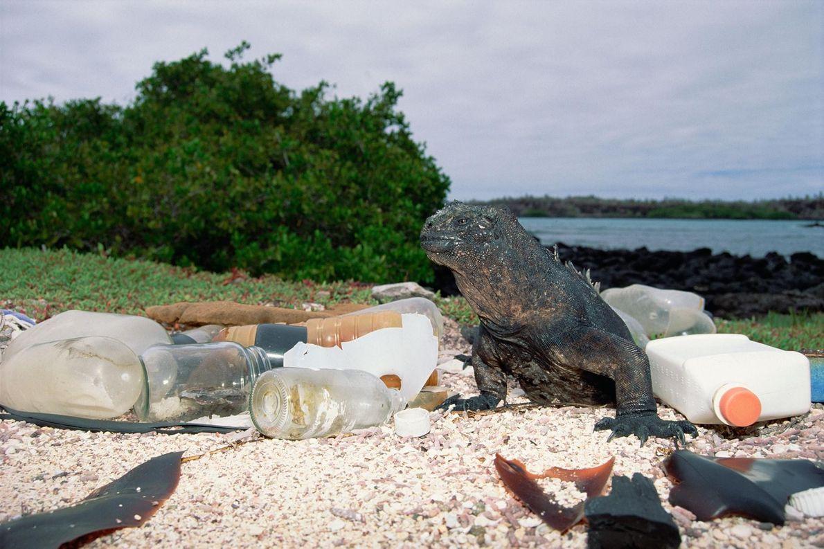 À Puerto Ayora, sur l'île de Santa Cruz, l'une des îles des Galapagos, cet iguane marin ...