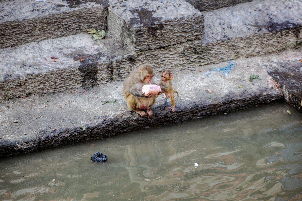 Un macaque rhésus et son petit observent avec attention une bouteille de plastique au Temple de ...