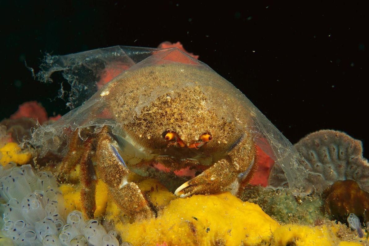 À Edithburgh en Australie, cet Austrodromidia octodentata, dit « crabe éponge » n'a pas d'éponge sur …