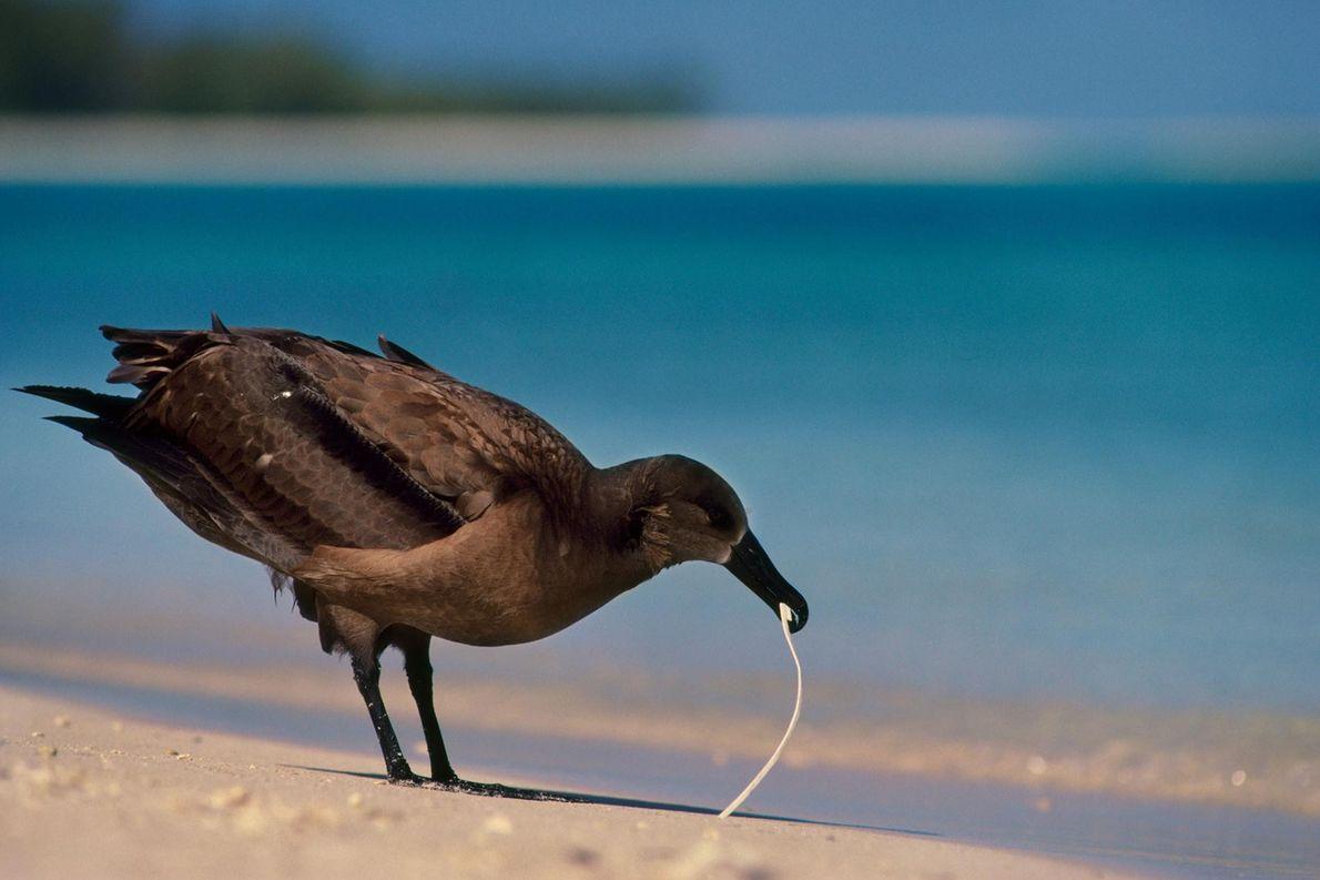 Un albatros à pieds noirs (Phoebastria nigripes) mange du plastique sur les îles du Vent. Les ...