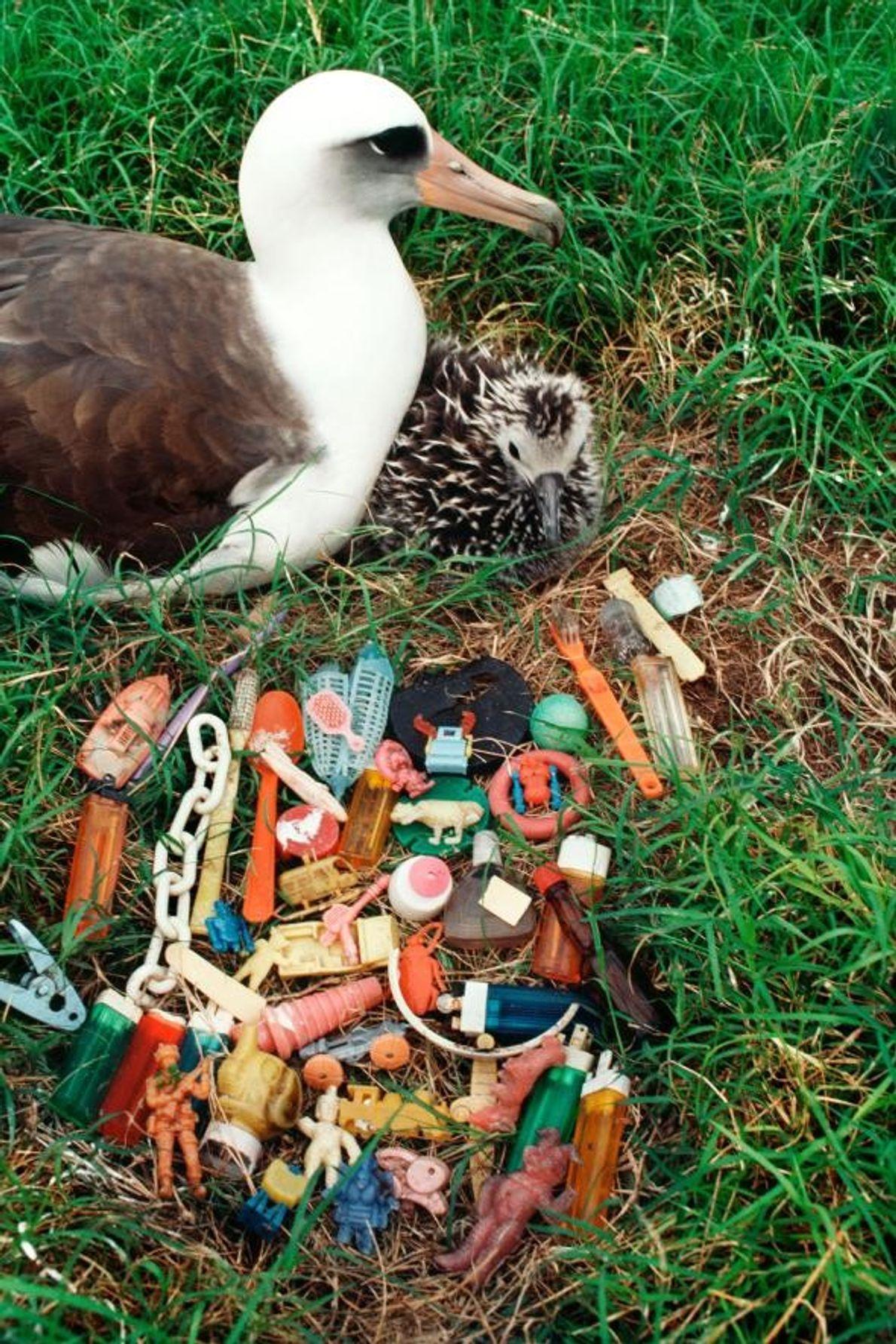 Un albatros de Laysan et son petit se reposent à côté d'une pile de déchets que ...