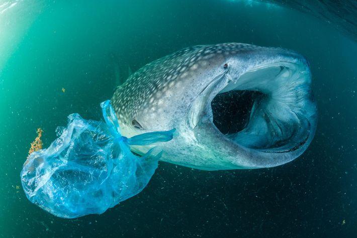 Dans le Golfe d'Aden, un requin-baleine nage à côté d'un sac plastique. Plus grand poisson au ...