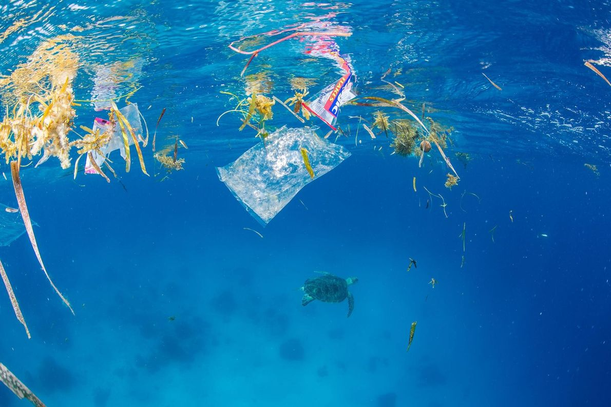 Algues et emballages plastiques flottent à la surface de l'eau tandis qu'une tortue verte s'éloigne des ...