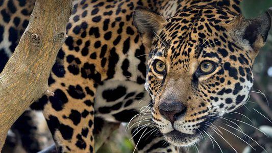 En Argentine, la naissance de deux jaguars redonne espoir pour l'avenir de l'espèce