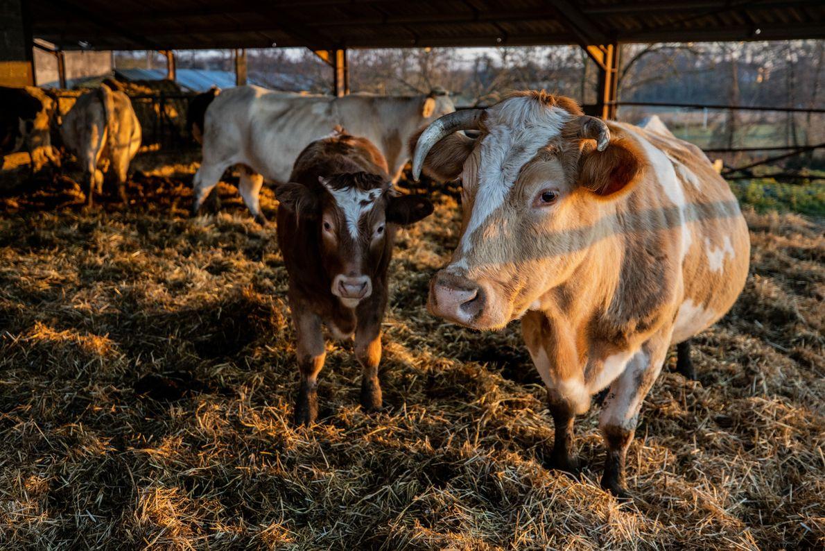 Une vache et son veau dans un élévage bovin à Calonges, dans le Lot-et-Garonne.