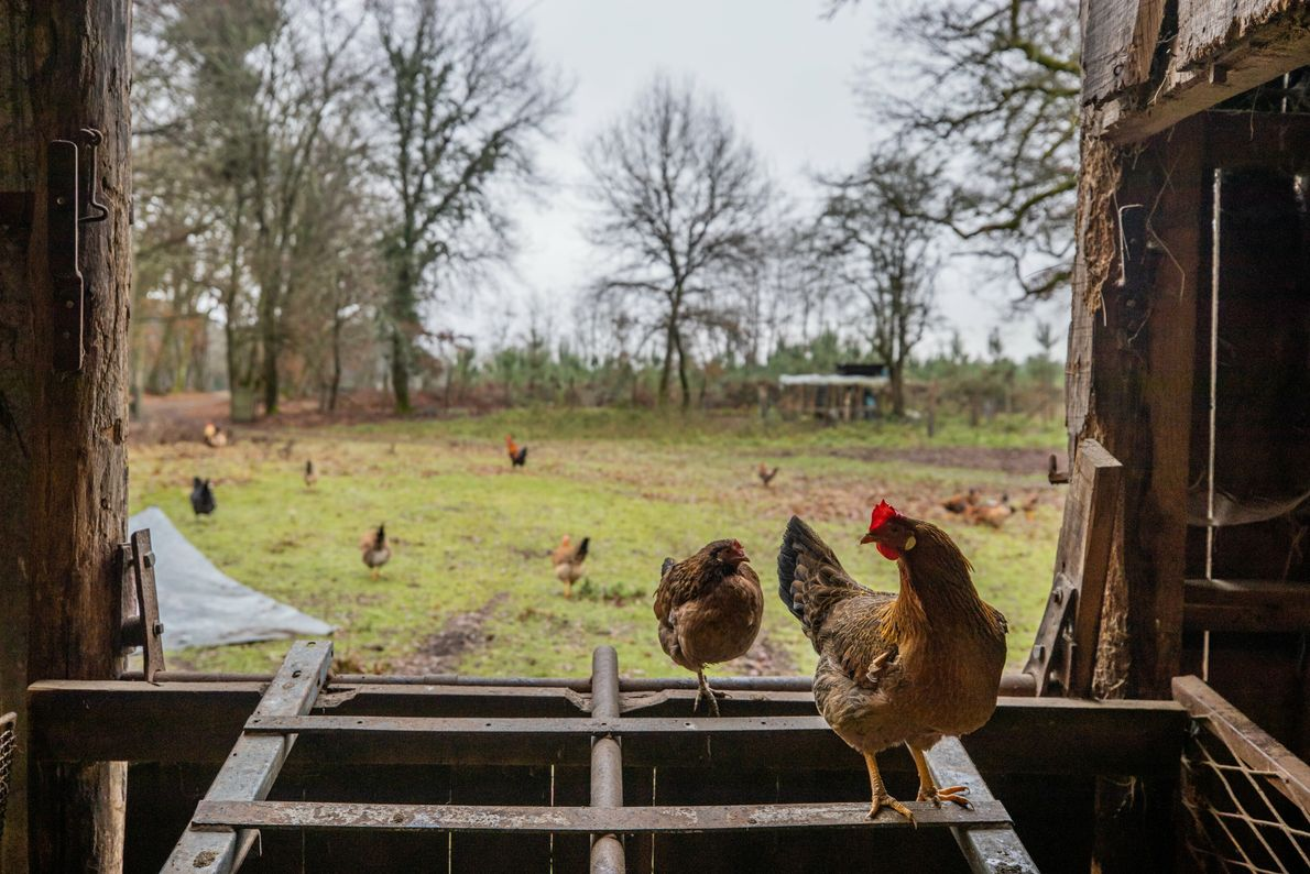 En France, on dénombre plus de 60 races de poules. Importée pour la première fois en ...