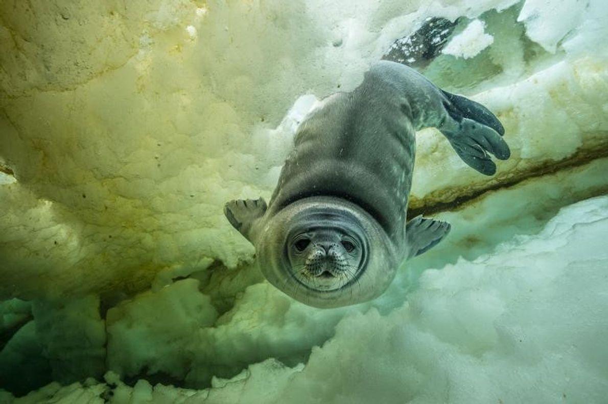 Un jeune phoque de Weddell curieux, âgé de quelques semaines, s'approche de la caméra. Selon le ...