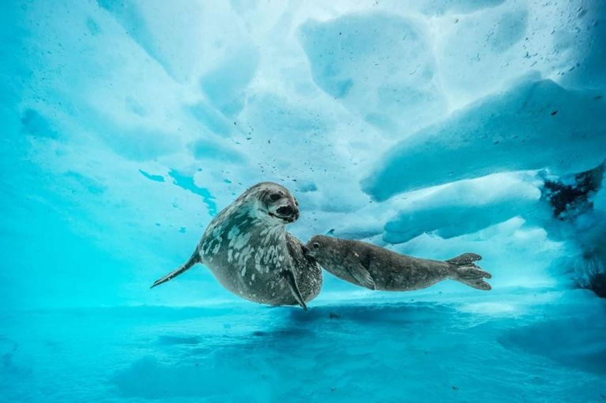 Un phoque de Weddell nage sous la glace aux côtés de son petit. Lorsqu'il aura atteint ...