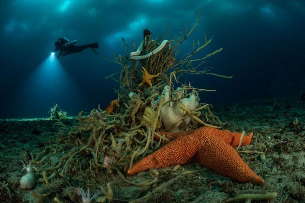 Cette étoile de mer se blottit contre une éponge truffée de vers en forme d'arbre.