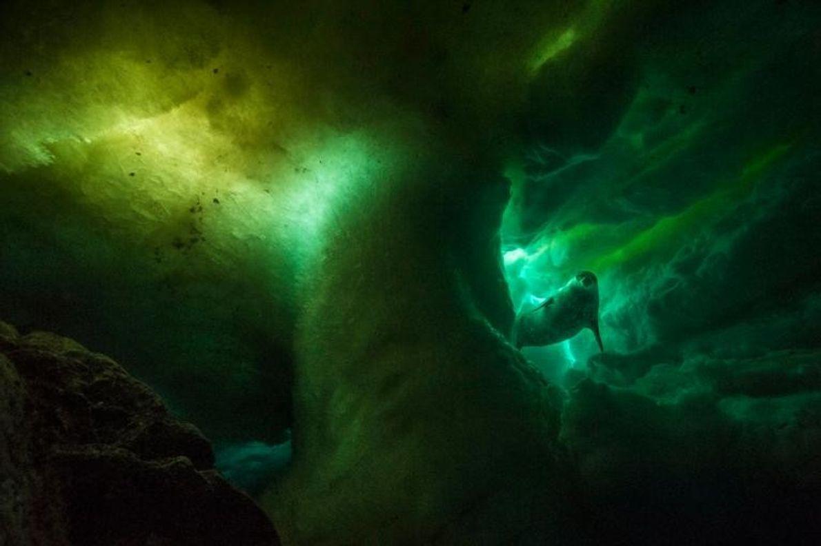 Un phoque de Weddell, mammifère reproducteur le plus méridional au monde, nage sous la glace. Les …