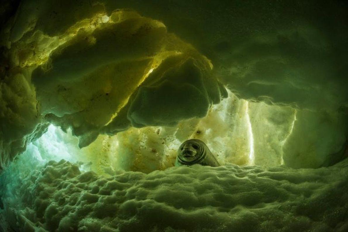 Un jeune phoque de Weddell se prélasse dans un trou de glace. À l'âge adulte, il ...