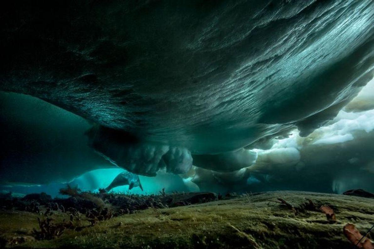 Un phoque nage sous la glace marine près de la station Dumont d'Urville, dans l'est de ...