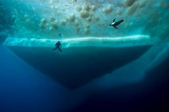 Un plongeur contemple un manchot empereur qui nage à ses côtés. Des microalgues, qui s'accrochent à ...