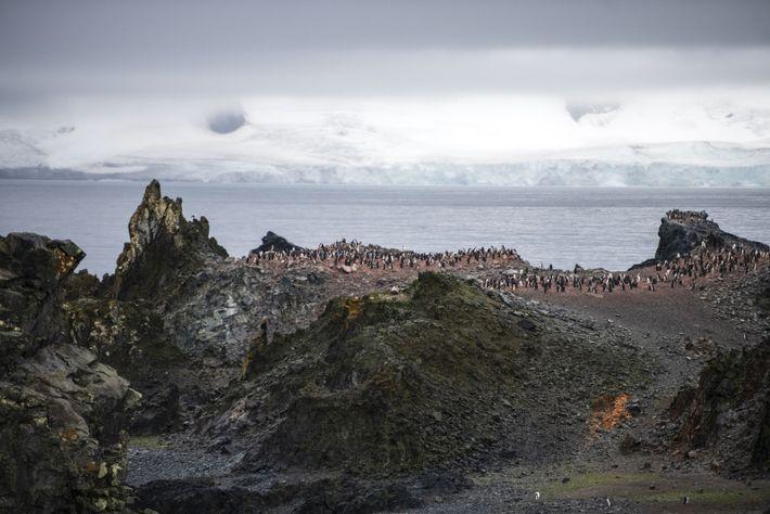 Les reliefs volcaniques del'île d'Half Moon, dans lesîles Shetland, abritent unecolonie de manchots àjugulaire. L'espèce doit ...