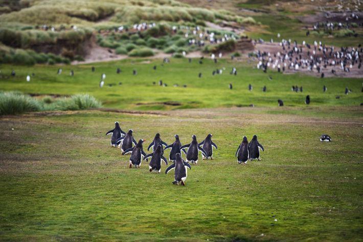 Colonie de manchots papous à Grave Cove, dans les îles Malouines.
