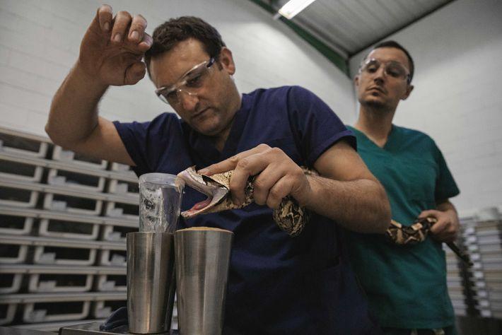Précieuses gouttes : Rémi Ksas, assisté d'Antoine Planelles, extrait le venin d'une vipère du Gabon de ...