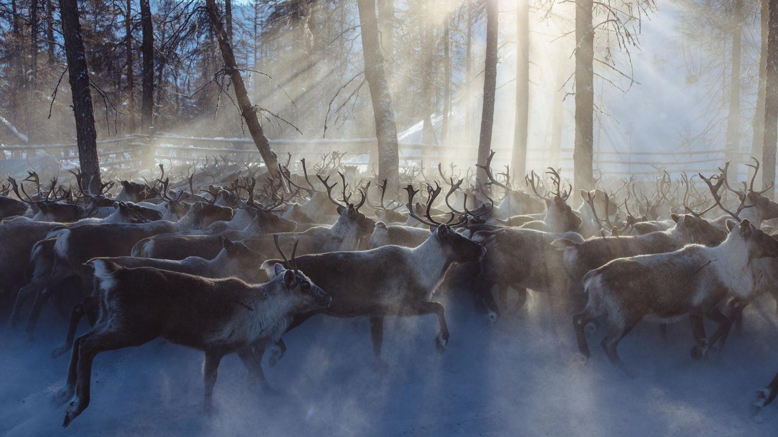 Des éleveurs rassemblent un troupeau de rennes semi-domestiqués près de Kioussour, en Yakoutie. Leurs homologues sauvages ...