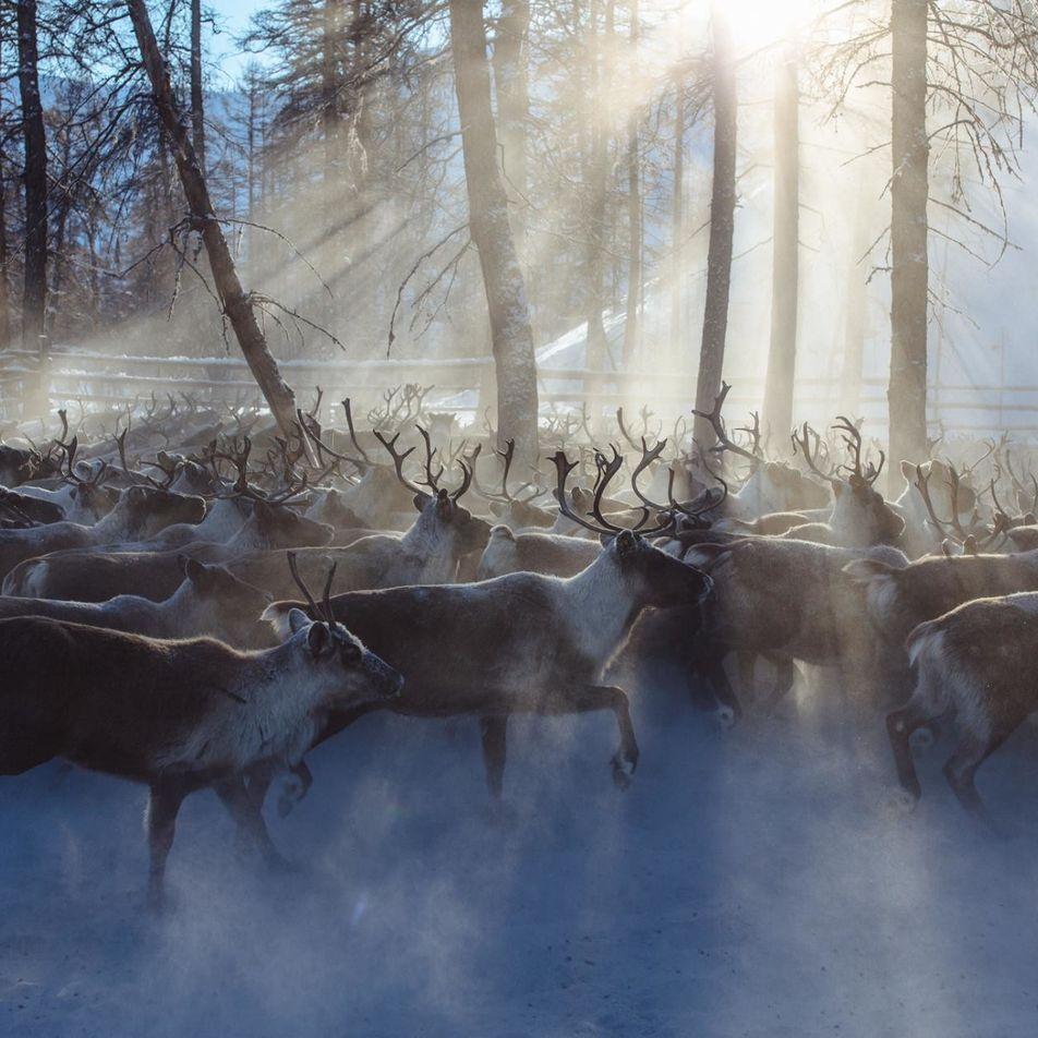 La plus grande population de rennes au monde ciblée par des braconniers