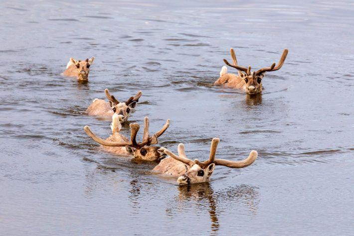 Des rennes sauvages traversent la rivière Kheta sur la péninsule de Taïmyr. Les braconniers ont pour ...