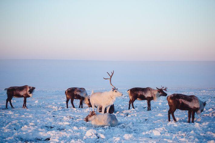 Des rennes apprivoisés flânent à proximité de la tente d'un éleveur en Yakoutie. De plus en ...