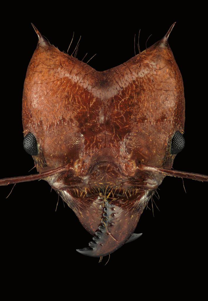Atta cephalotes est une espèce de fourmi coupe-feuille. Elle cultive des champignons dans des chambres souterraines.
