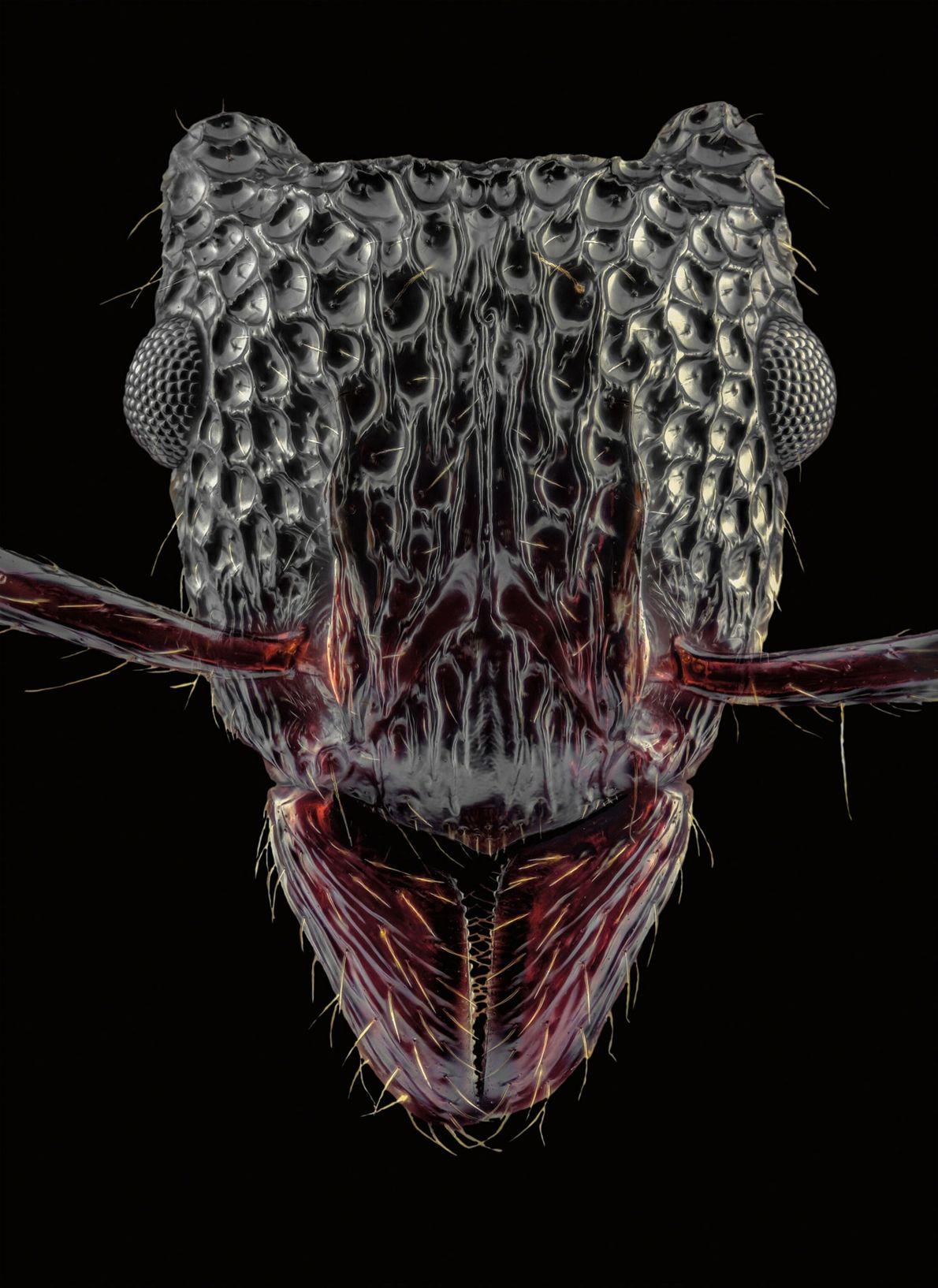 Gnamptogenys bicolor, qui se trouve en Chine et dans les pays frontaliers. Elle possède des marques ...