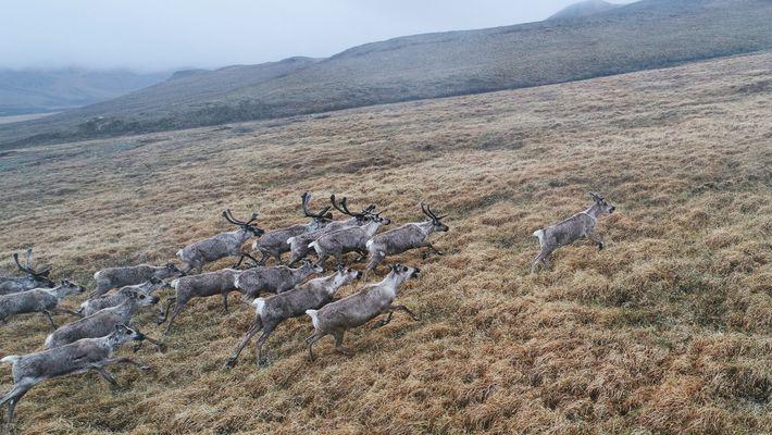 Un troupeau de caribous franchit au galop un col de montagne situé à l'extrémité sud du ...