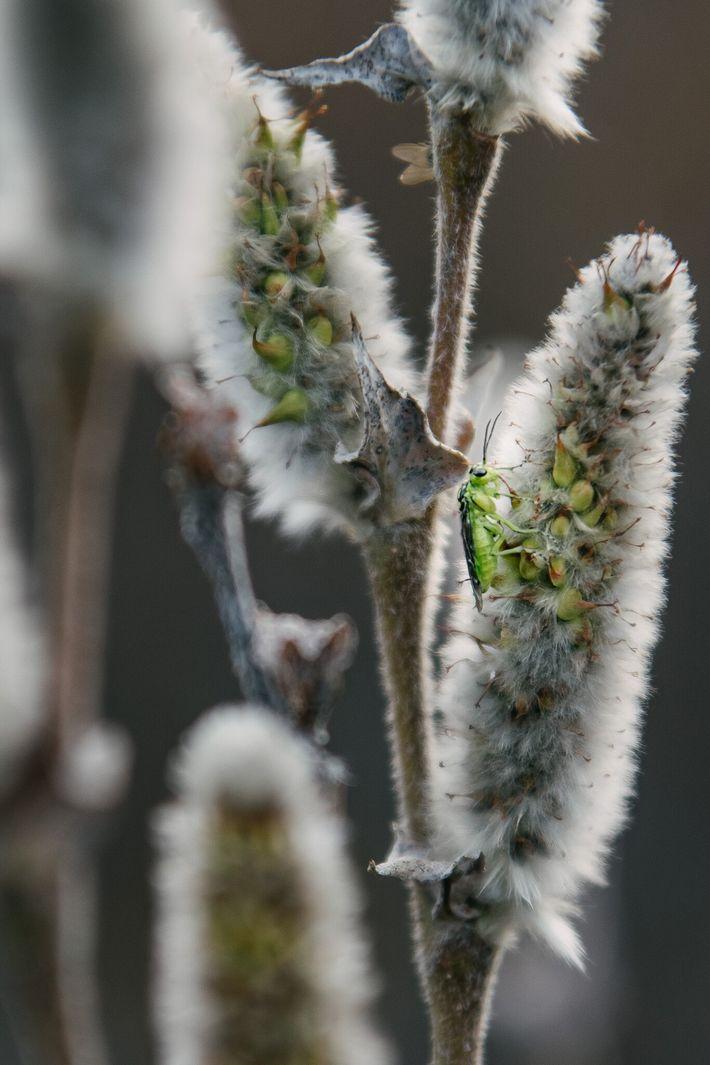 Une guêpe émeraude boit le nectar des fleurs d'un saule arctique dans la toundra de l'ANWR.