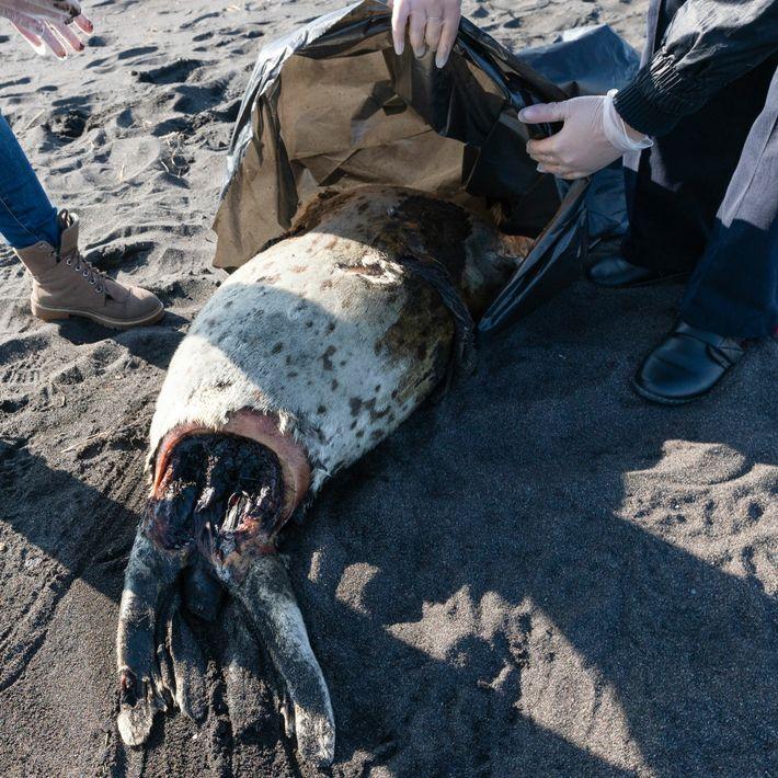 La carcasse d'un phoque tacheté échouée sur la plage de Khalaktyrskiy, dans l'Extrême-Orient russe, aux côtés ...