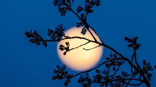 Les fleurs des cerisiers se détachent sur fond pleine Lune alors que celle-ci se lève sur ...