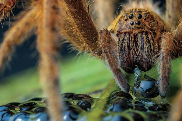 Un arachnide dévore des œufs d'Espadarana prosoblepon, dans la réserve du Río Manduriacu (nord-ouest de l'Équateur). Les parents ...