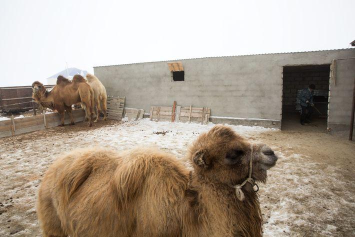 L'élevage de chameaux a toujours été une source de revenus pour les habitants de la région. ...