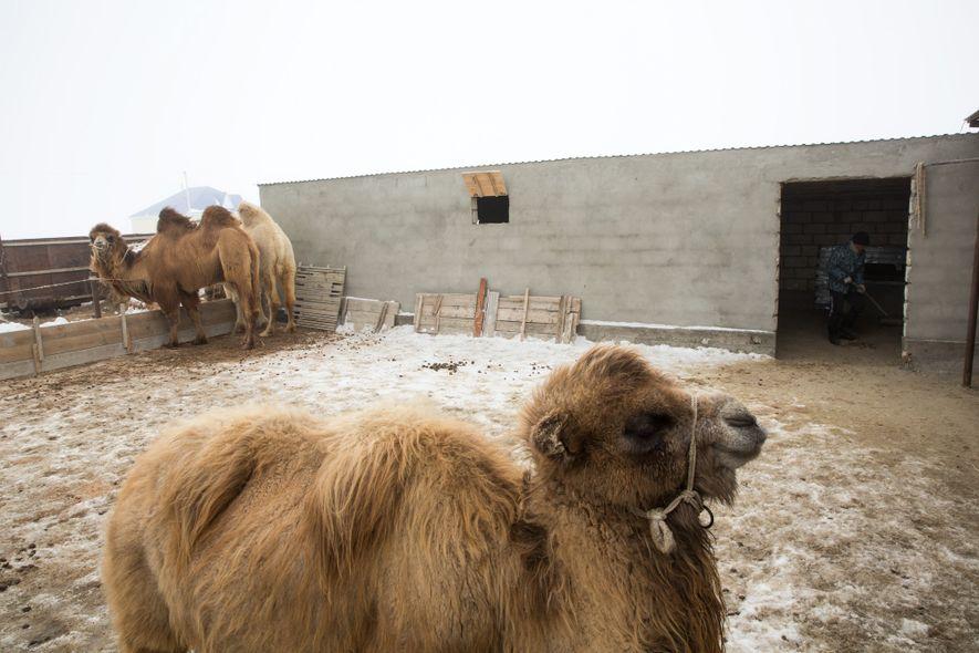 L'élevage de chameaux a toujours été une source de revenus pour les habitants de la région. Avec la disparition de l'industrie de la pêche, c'était encore plus le cas.