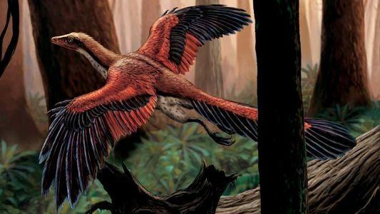 Découverte : l'Archaeopteryx, célèbre dinosaure-oiseau, pouvait bien voler