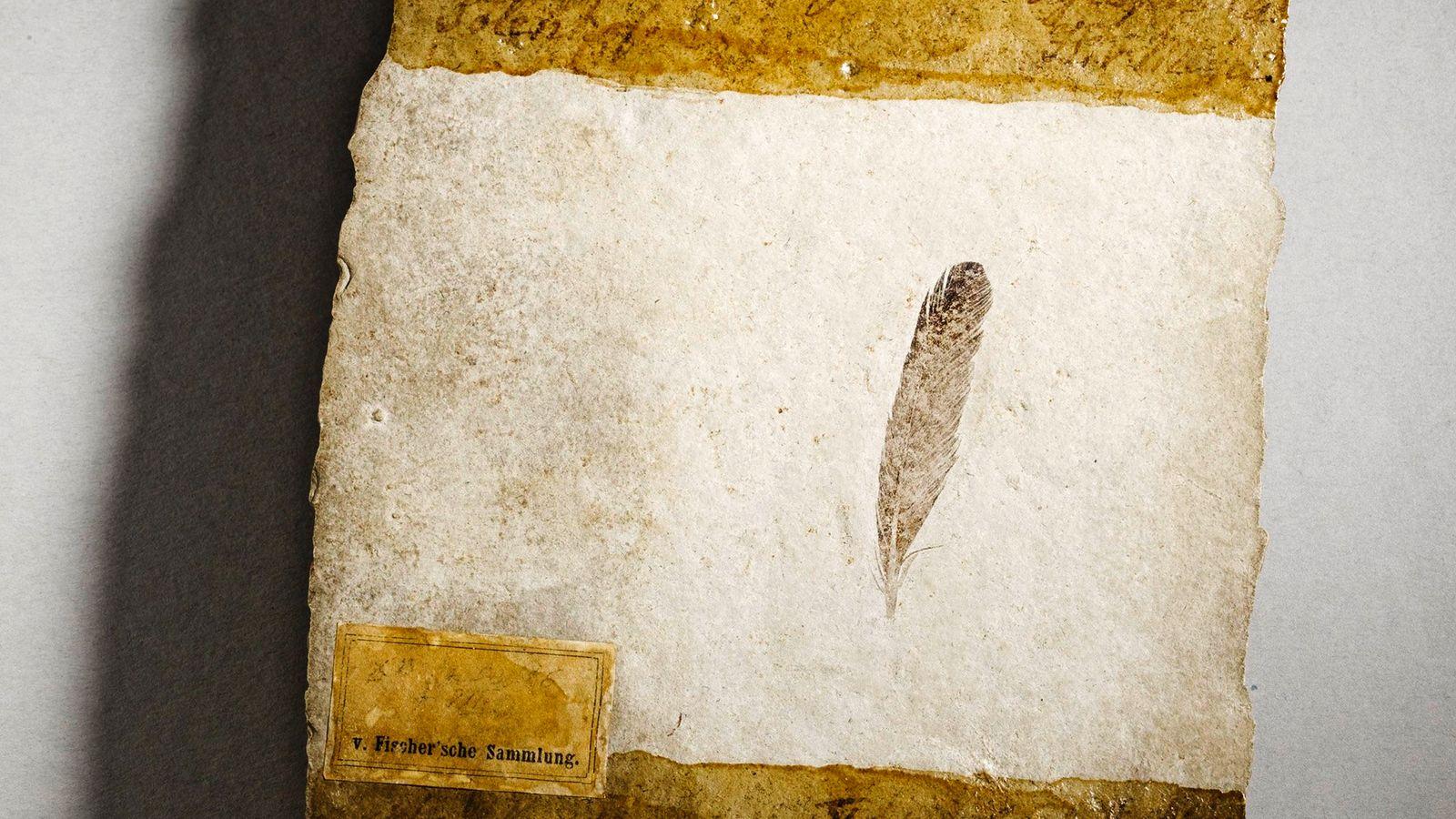 Cette plume remarquablement préservée vieille de 150 millions d'années, la toute première jamais découverte, l'a été dans ...