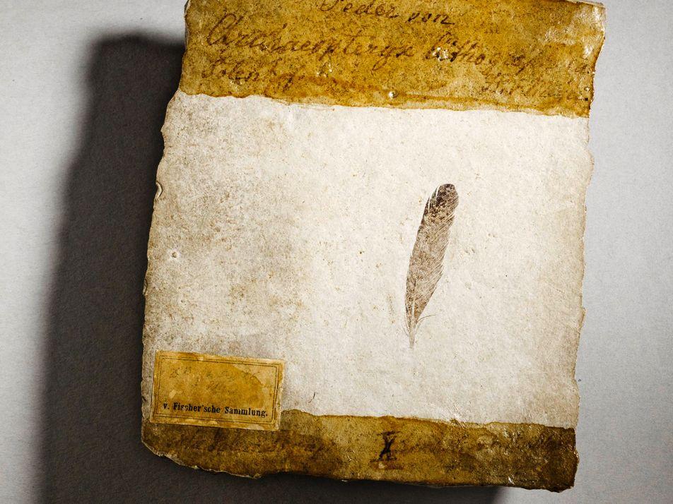 La première plume de dinosaure jamais découverte aurait appartenu à un archéoptéryx