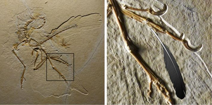 Le spécimen d'Archaeopteryx découvert à Altmühl (à gauche) présente les impressions des plumes de l'animal. Lorsque ...