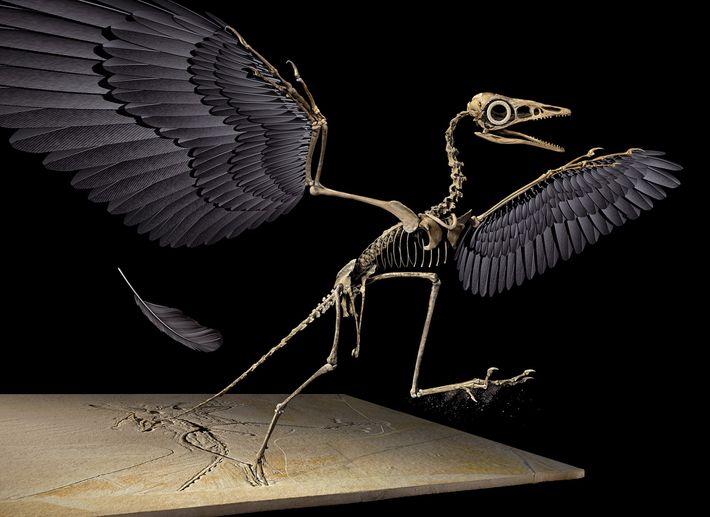 La plume du Jurassique provient de l'aile gauche du dinosaure volant Archaeopteryx, reconstitué en 3D ci-dessus.