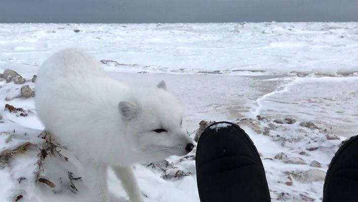 Face à face avec un adorable renard polaire