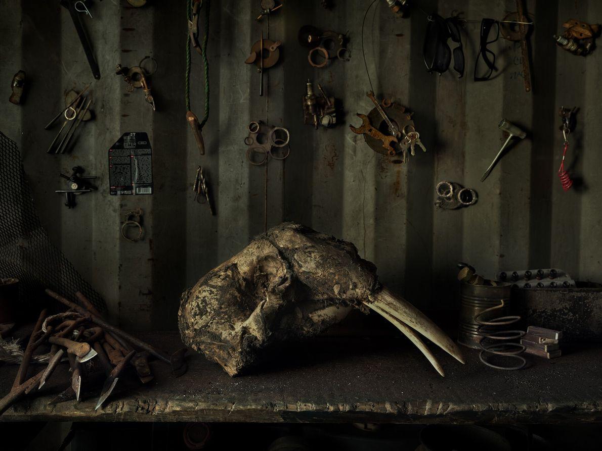 Le crâne d'un morse trône sur la table d'une cabane de chasseur. La viande de morse ...