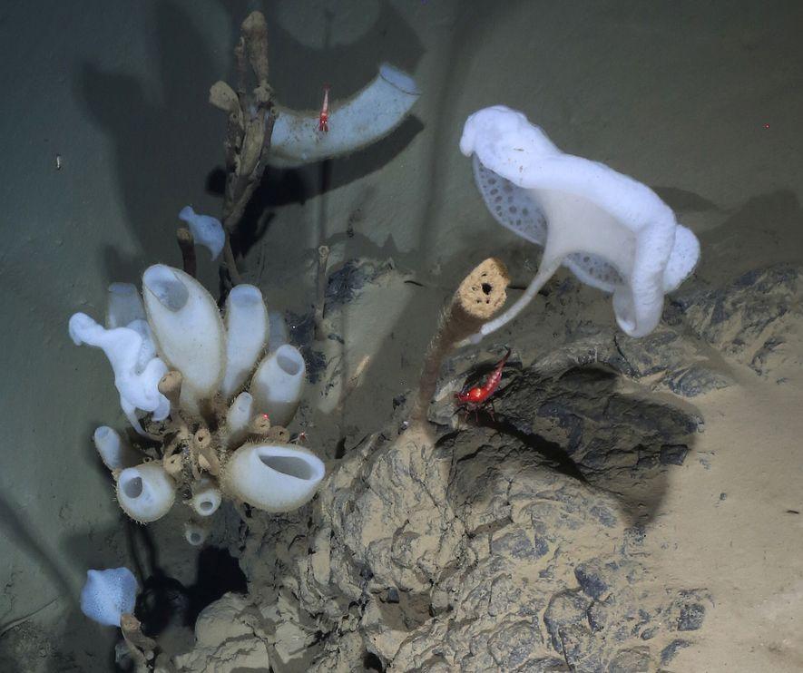 Une crevette rouge mesurant près de 5 cm nage au-dessus d'un affleurement de lave en coussin ...