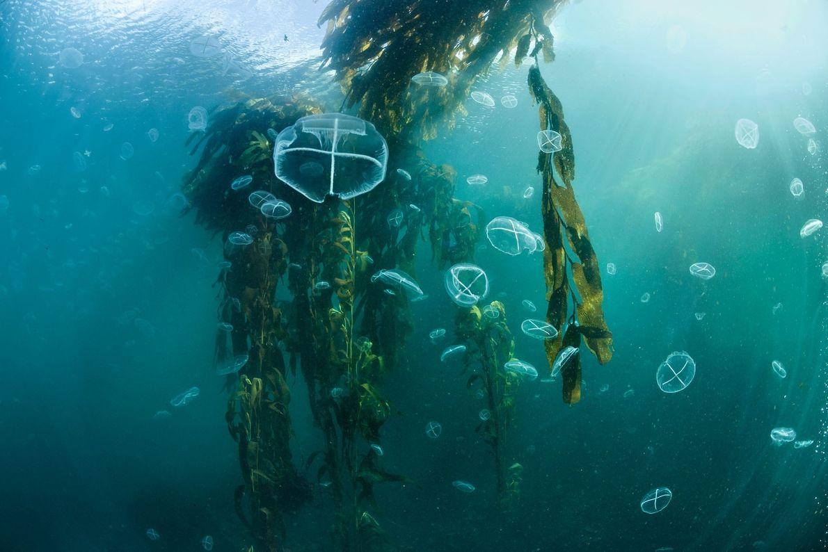 Des méduses flottent entourées des frondes d'une forêt de kelp au large de l'île des États, ...