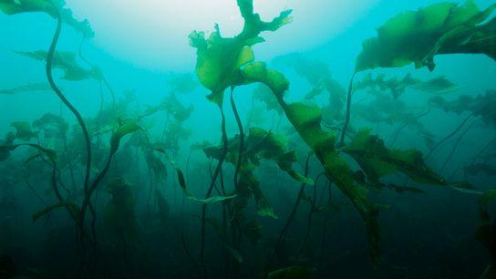 Les bactéries vivant sur des algues restent fixées à la surface de la plante en utilisant ...
